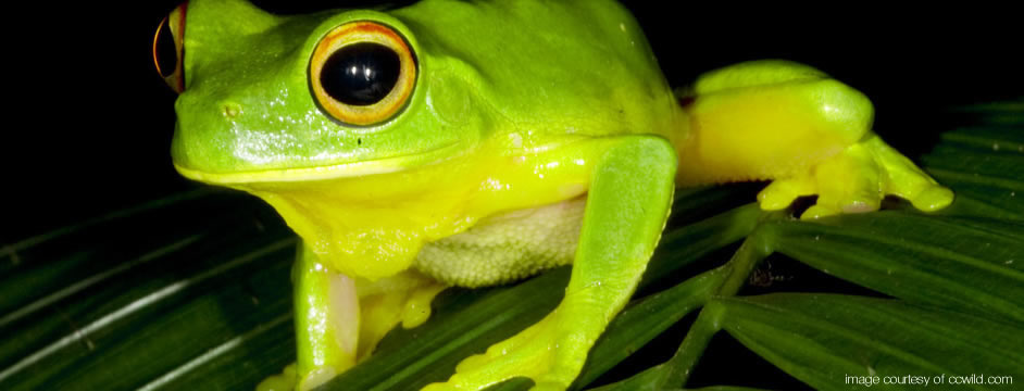 Green Treefrog - Daintree Rainforest